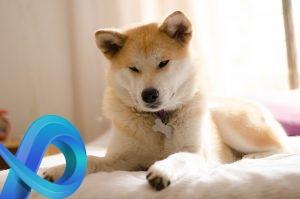 Akita Inu sur le lit