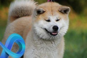Akita Inu, le chien qu'on a trop envie de câliner !